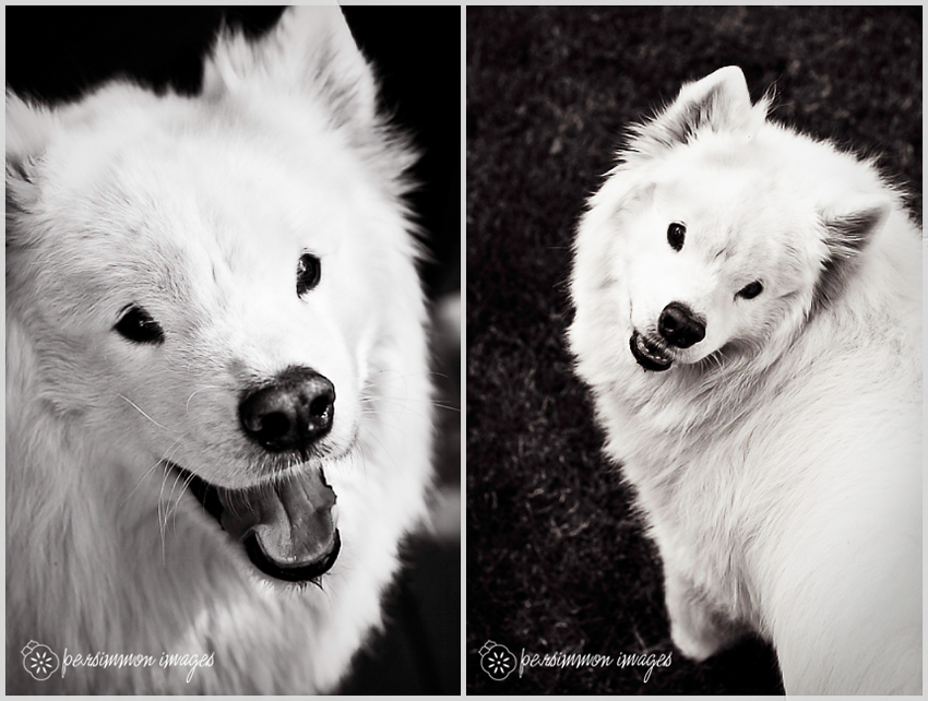 Rain the sweet Samoyed dog poses for pet portrait photography in her back yard
