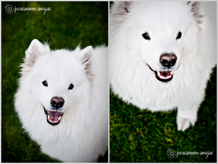 Rain the Samoyed captured by Persimmon Images, Seattle Pet Photographer