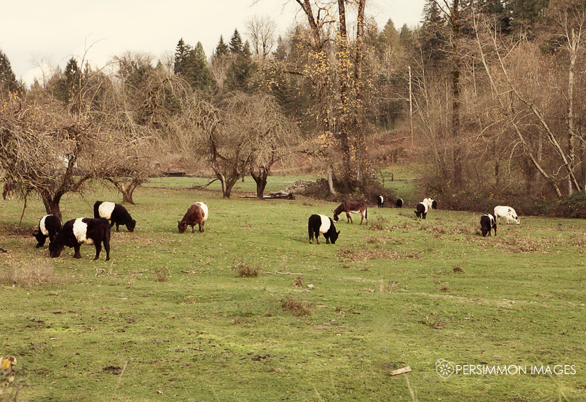 Seattle cow photographer takes a photo of cows in an idyllic field. Yup.