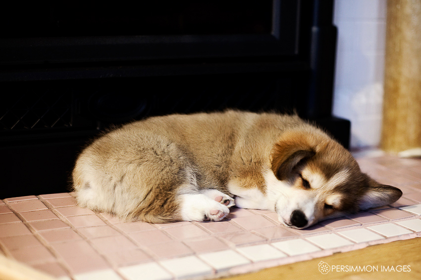 Sleeping corgi puppy near fireplace
