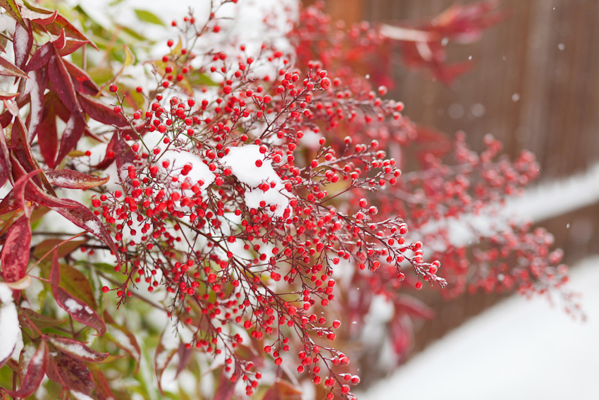 Seattle winter snow and ice storm January 2012. Red berries in Wallingford.