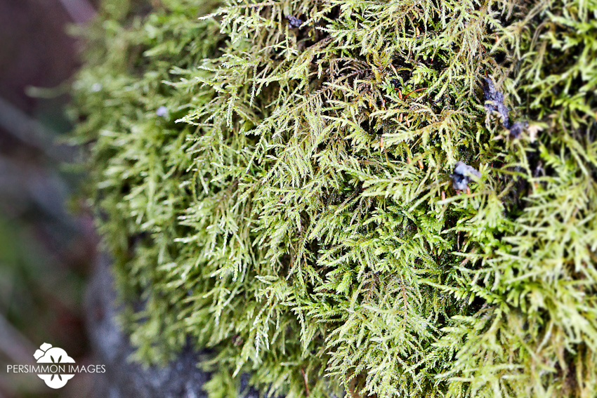 Orcas Island nature photography. Pacific Northwest moss on the peat forest floor. Macro moss photography.