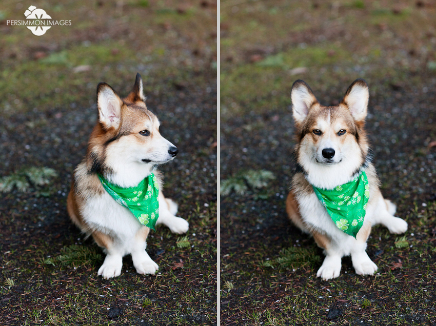 Dog fort commander Corwin, a Pembroke Welsh Corgi, looks seductively at the camera on Orcas Island while wearing a Saint Patrick